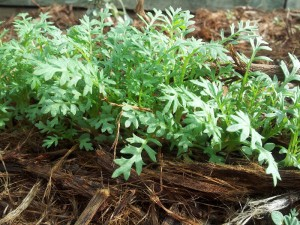 Gilia capitata seedlings