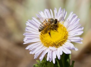 Pullenza-Bee in Aster_SMALL WEB