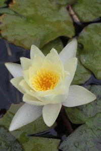 Yellow-waterlily