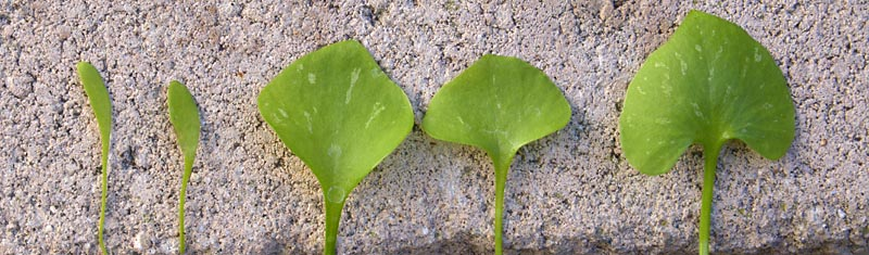 Miner's lettuce leaf comparisons, from young leaves on the left to more mature ones on the right, moving gradually towards the leaf entirely surrounding the flowering stems.