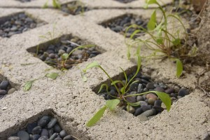 Miners lettuce seedlings in walkway