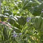 Blue-eyed grass, really more lavender than blue in this form, looking great next to chard
