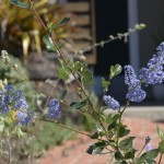 Ceanothus 'South Coast Blue'