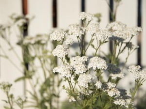 White yarrow against the white picket fence in front of the McCoy house--what a cool planting idea!