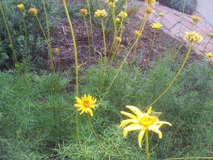 "The local perennial ""coreopsis,"" Leptosyne maritima, with a few flowers, but mostly spent blooms"