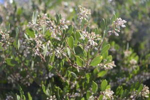 Winter blooms on the Howard McMinn manzanita