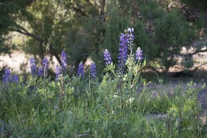 Lupines at their peak in Old Town