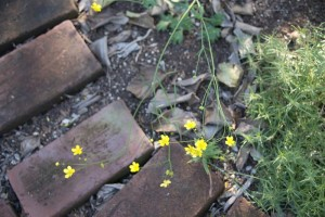 A delicate planting of our humble ranunculus, R. californica