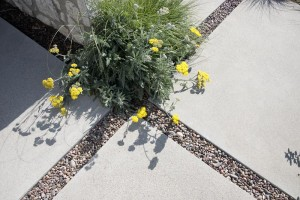 A bright yellow yarrow selection planted on the edge of a rain-permeable driveway