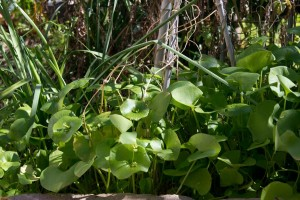Claytonia tangle in veggie garden